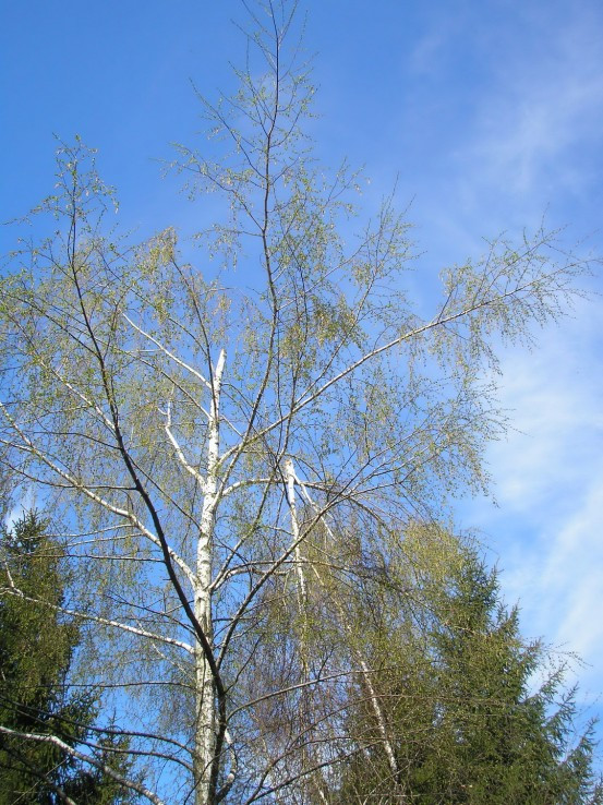 Ranená breza