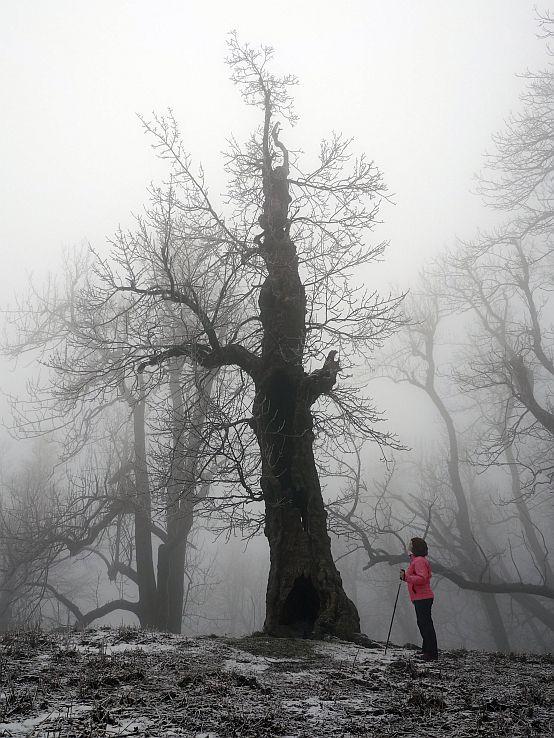 Baobab na Slovensku?