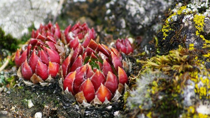 Jesenné skalné ruže...