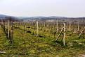Vinohrady na okraji Svätého Jura