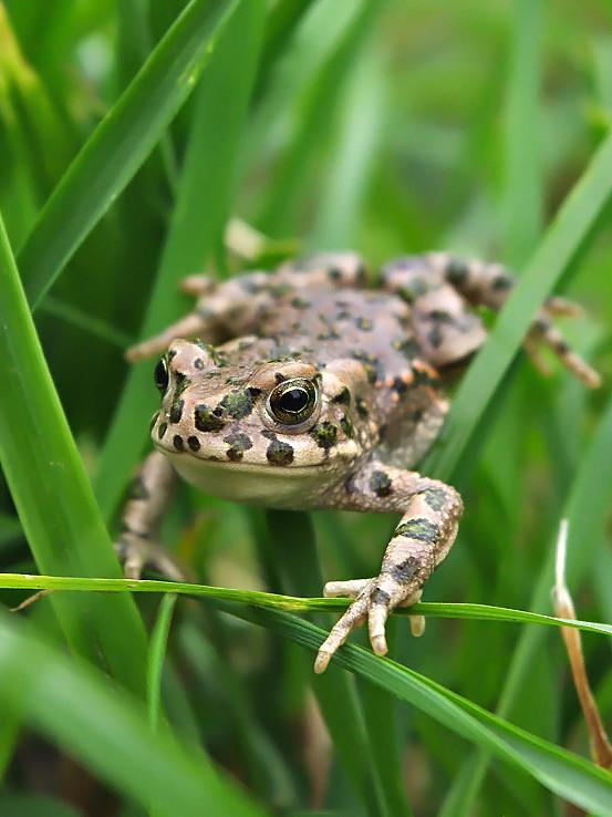 Žabka v tráve