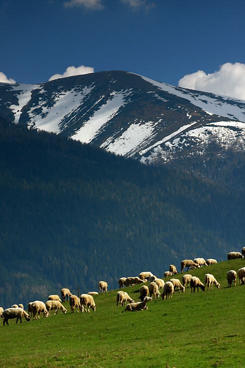 Tri pruhy a ovce