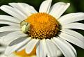 Kvetárik menlivý