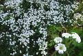 Cerastium arvense (Rožec roľný)