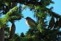 Ľabtuška lesná (Anthus trivialis)