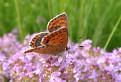 motýľ I.