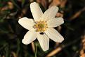 Veternica hájna (Anemone nemorosa) / 1.1176