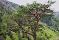 bonsay pod Tlstou