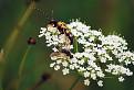 Fúzač škvrnitý (Strangalia maculata) / 1.1053