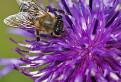 Včeliška