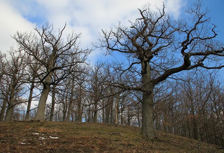 Malokarpatské bonsaje