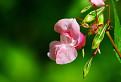 Ružová a zelená