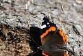 Tatranský motýľ