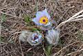 Jarné kvety na Sitne