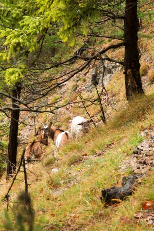 Ovca s dvoma kozami