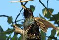 škorec lesklý (Sturnus vulgaris)