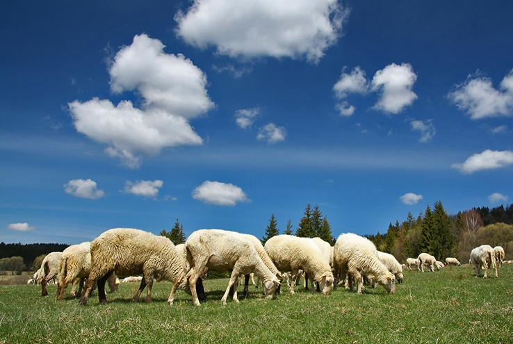 Baránčeky a ovečky
