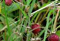 Jahoda trávnica (Fragaria viridis)
