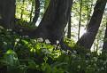 Cesnakový prales