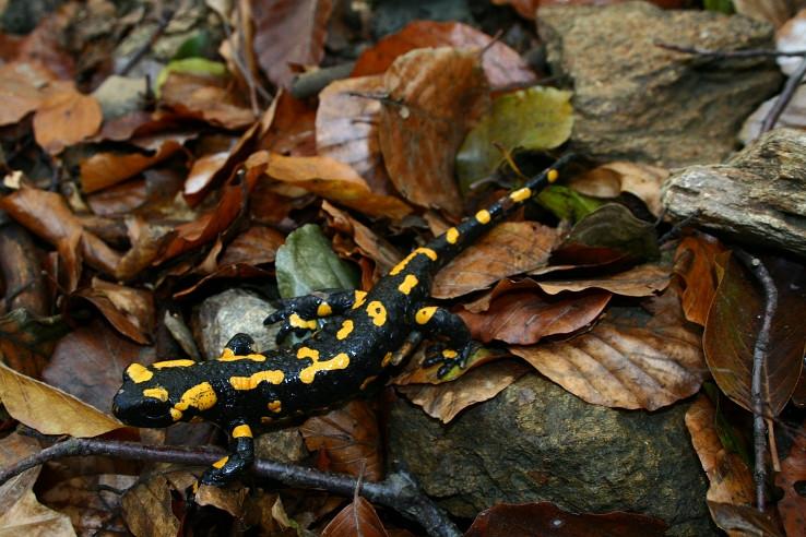 Mlok Skvrnity(Salamandra Skvrnita)