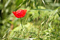 červený kalich / 1.0526