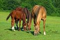 Tri gaštanove kone.