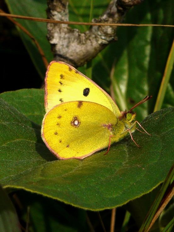 Žltáčik podkovkový