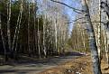 Krátka brezová aleja v borovicovom lese