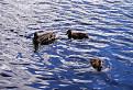 Kačky plávajú v Štrbskom Plese