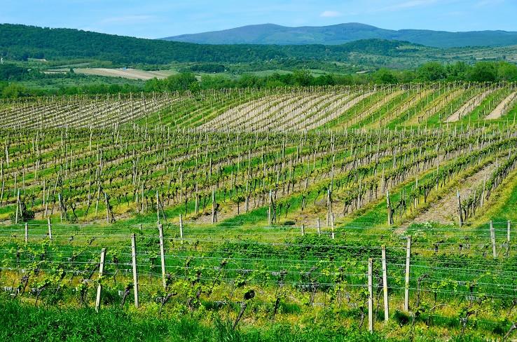Zeleňajúce sa lány vinohradov