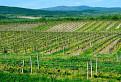 Zeleňajúce sa lány vinohradov / 1.0000