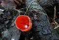 Ohnivec šarlátový (Sarcoscypha coccinea).