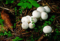 Prášnica bradavičnatá (lycoperdon perlatum)