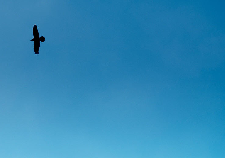 Corvus corax nad rajom