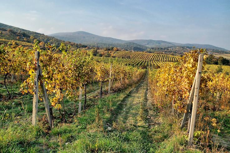Jeseň vo vinohradoch