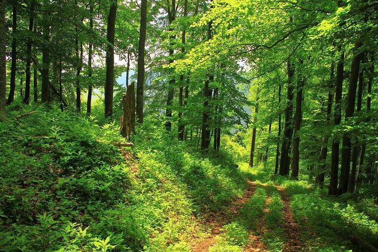 Krásny bukový les