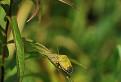 Bzdocha zelená (Palomena prasina)