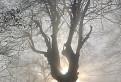 Posvätný dub druidov