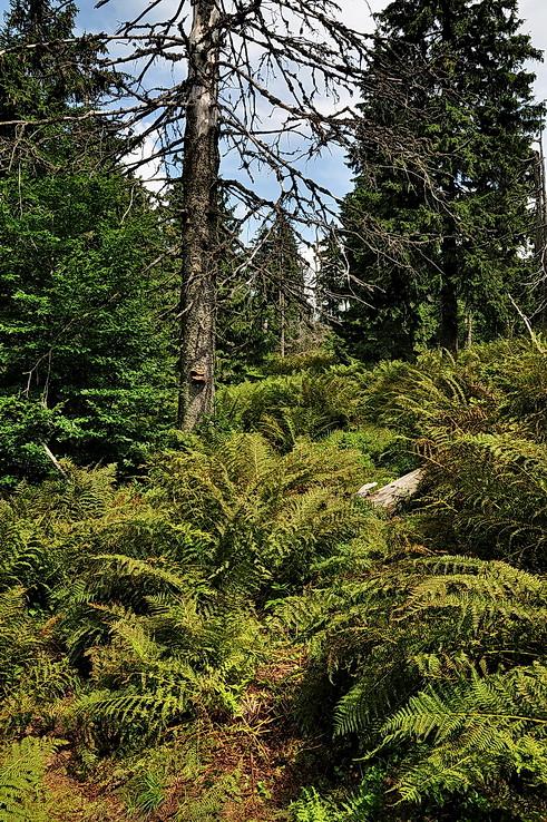Obedným pralesom