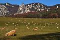 súľovské ovečky