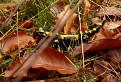 Salamander škvrnitý