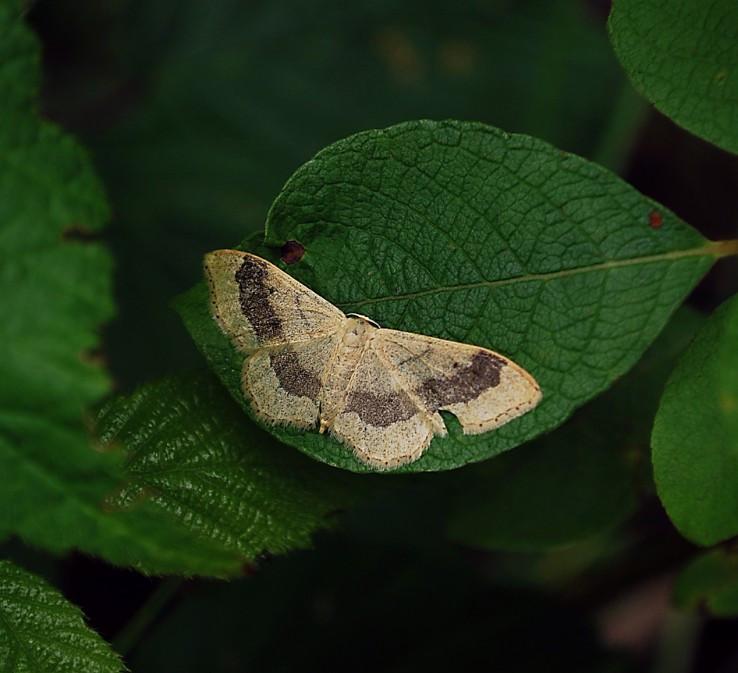 Piadica kručinková (Idaea aversata)