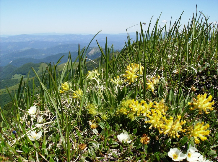 S horskou kvetenou