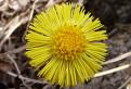 Tussilago farfara - podbeľ liečivý