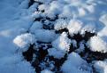 ľadoví ježkovia