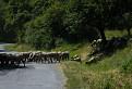 Klenovské ovce