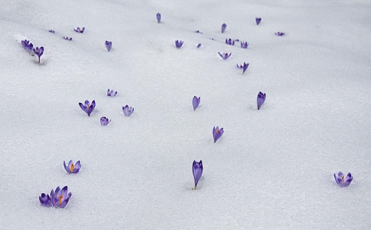 Safrany na snehu