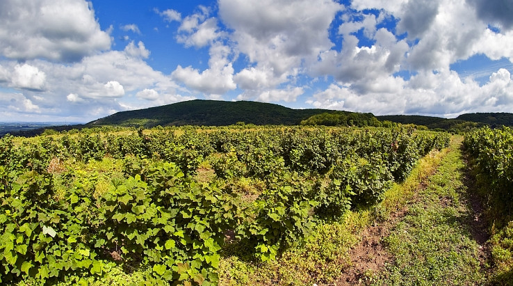 ribezlovy vinohrad