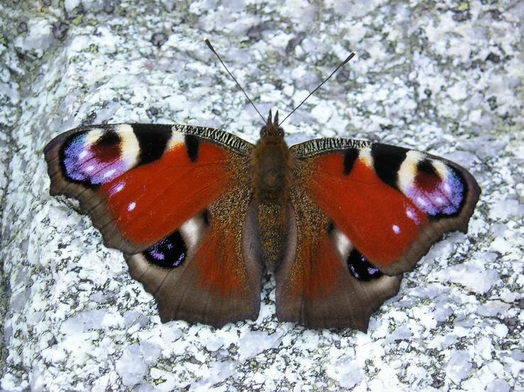 Motýľ ,,vysokohorský tatranský