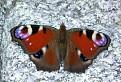 Motýľ ,,vysokohorský tatranský / 1.6786